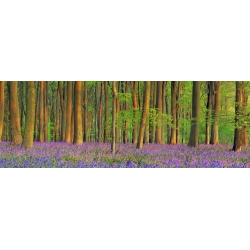 Wall art print and canvas. Krahmer, Beech forest with bluebells, Hampshire, England
