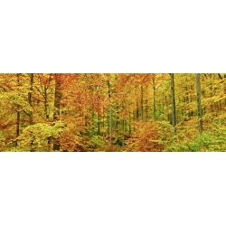 Wall art print and canvas. Krahmer, Beech forest in autumn, Kassel, Germany