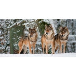 Wall art print and canvas. Anonymous, Wolves in the snow, Germany (detail)