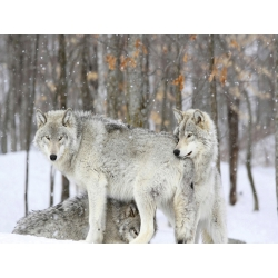 Wall art print and canvas. Grey wolves huddle together during a snowstorm, Quebec