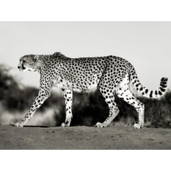 Wall art print and canvas. Krahmer, Cheetah, Namibia, Africa