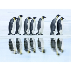 Wall art print and canvas. Krahmer, Emperor penguin group, Antarctica