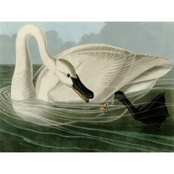 Wall art print and canvas. Audubon, Trumpeter Swan