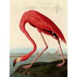 Wall art print and canvas. Audubon, American Red Flamingo