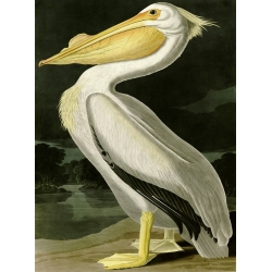 Wall art print and canvas. Audubon, American White Pelican