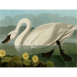 Wall art print and canvas. Audubon, Common American Swan