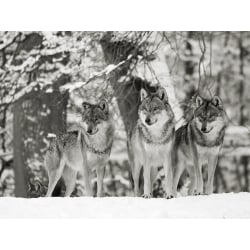 Wall art print and canvas. Anonymous, Wolves in the snow, Germany (BW)