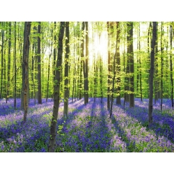 Wall art print and canvas. Krahmer, Beech forest with bluebells, Belgium