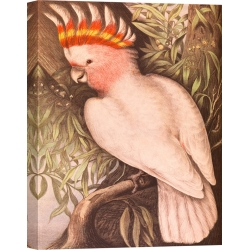 Wall art print and canvas. James Whitley Sayer, Leadbeaters Cockatoo